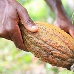 Gebündeltes Engagement in Europa für mehr Nachhaltigkeit im Kakaosektor